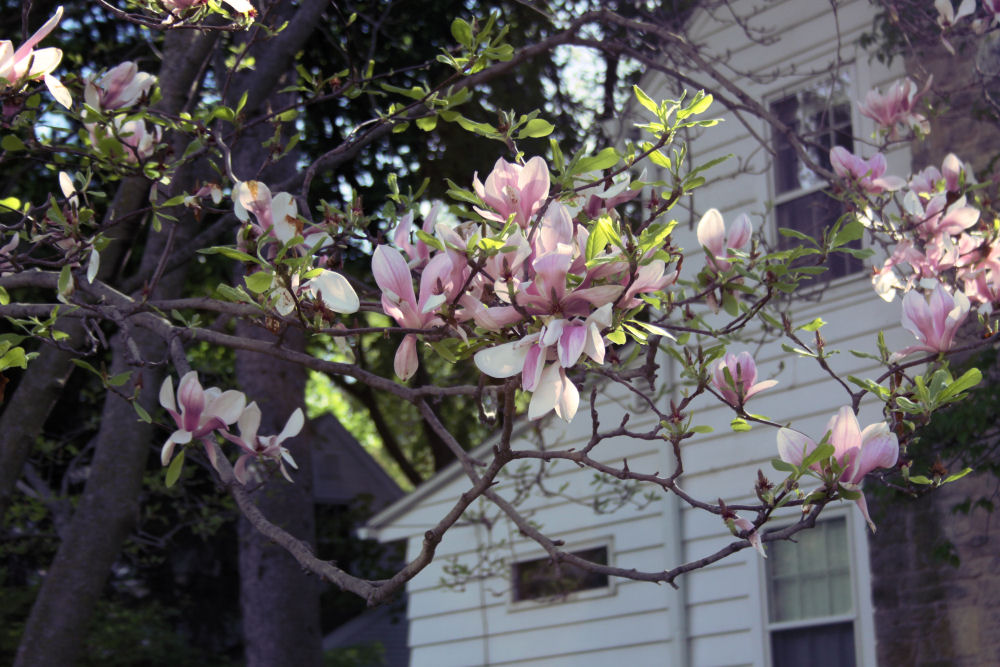 Magnolia, Madison WI