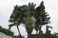 The Traveler's Palm, not a palm, but related to bananas and bird of paradise. The leaves and flowers collect rainwater that flows into the plant's stem base, ready to aid a thirsty traveler - hence the name.