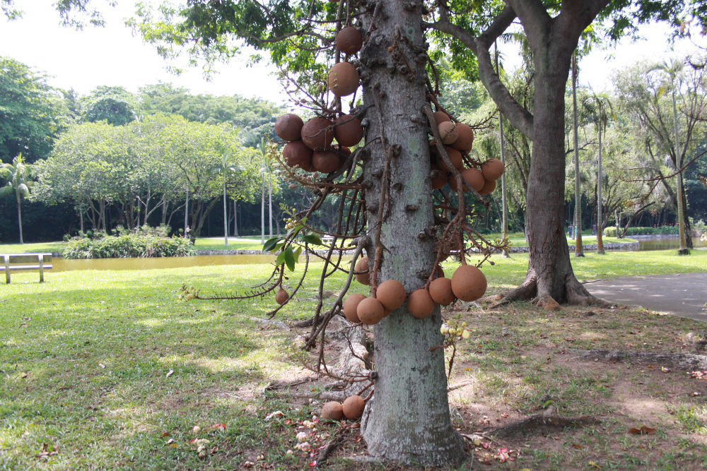 Cannonball Tree, East Coast Beach, Singapore