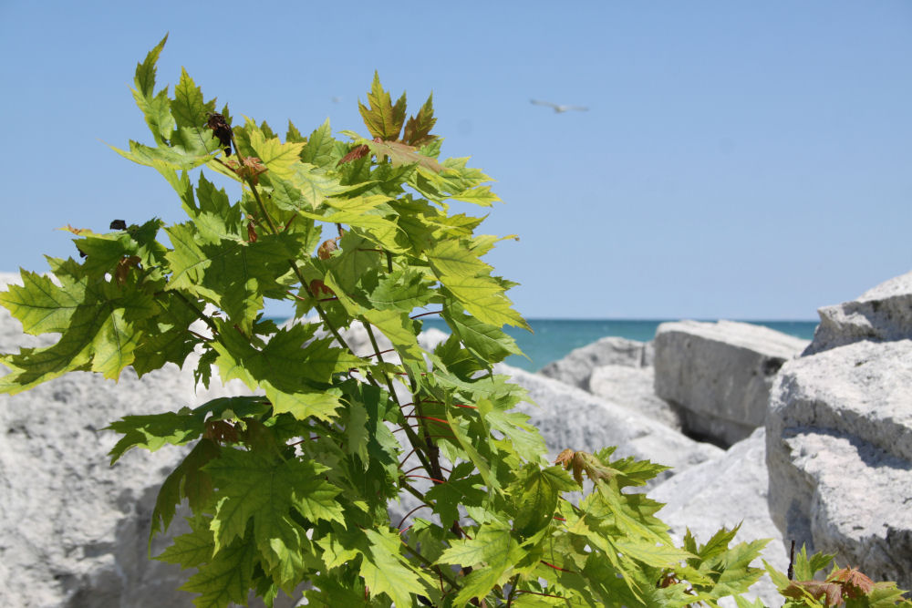 Maple sapling, McKinley Beach, Milwaukee, WI