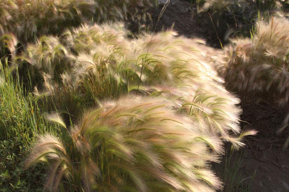Wild Hay, Drumheller, AB