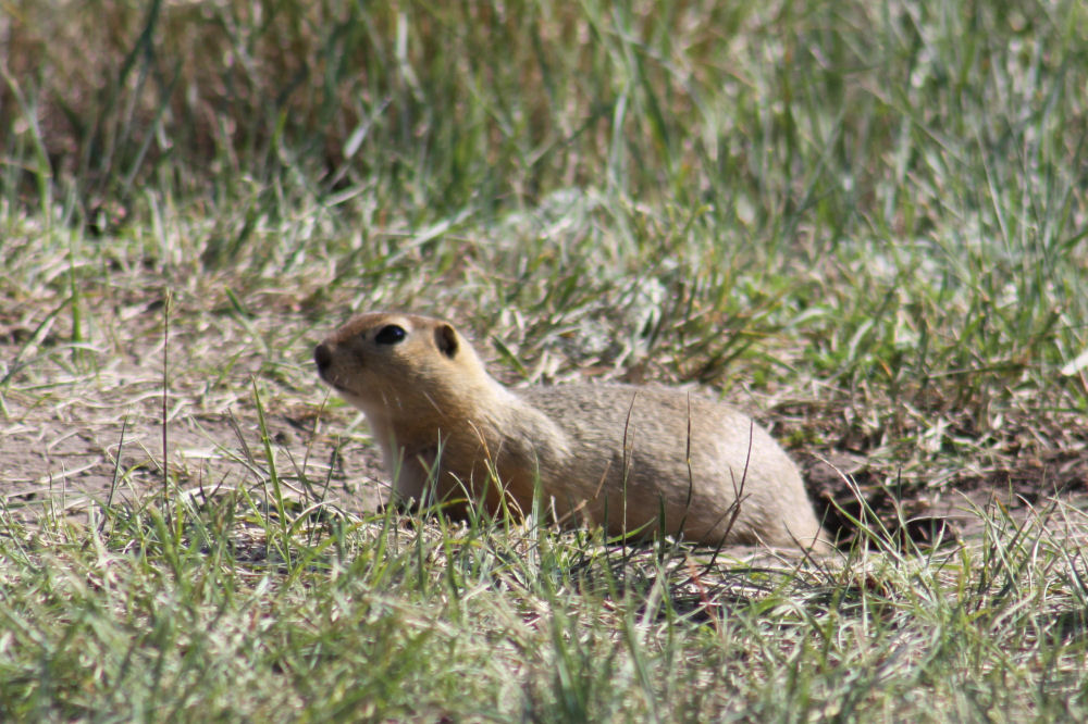 Gopher, or Prairie Dog, Drumheller, Alberta