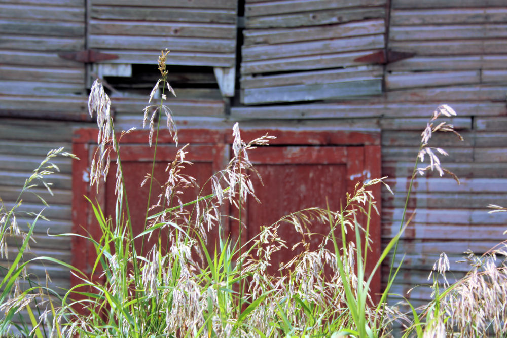 Grasses, old barn, Rowley, Alberta