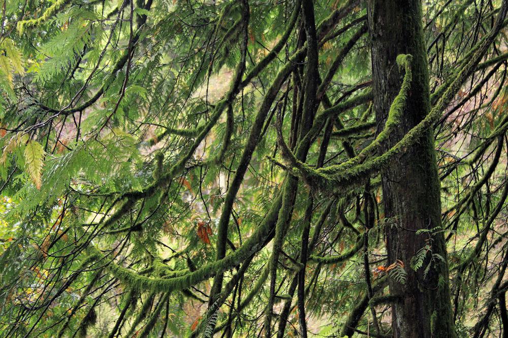 Mossy Western Red Cedar branch patterns, Multnomah Falls, Oregon