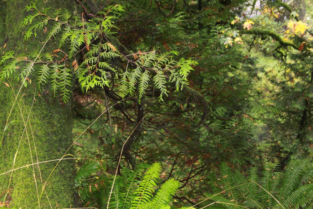 Cedar and Bigleaf Maple forest, Multnomah Falls, OR