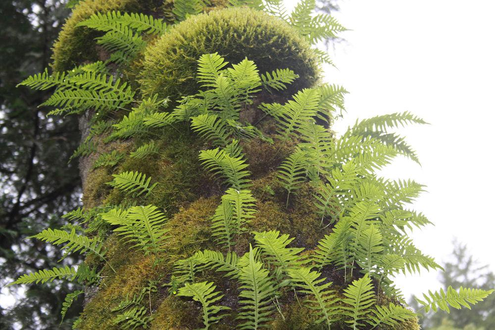 Moss and tree ferns, Multnomah Falls, OR
