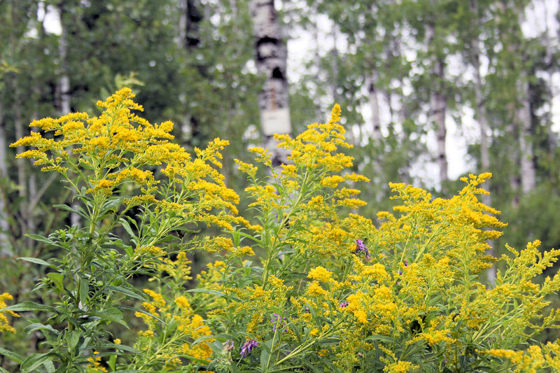 Goldenrod, Ouimette Canyon, ON