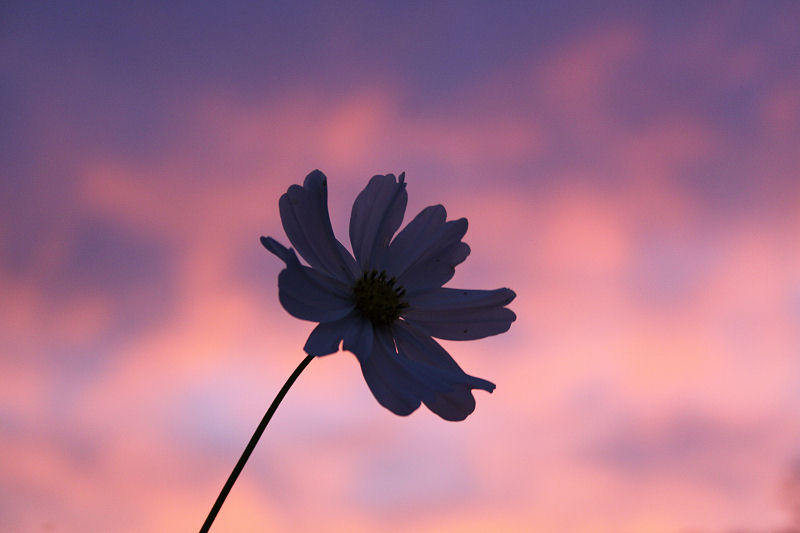 Cosmos and November sunset