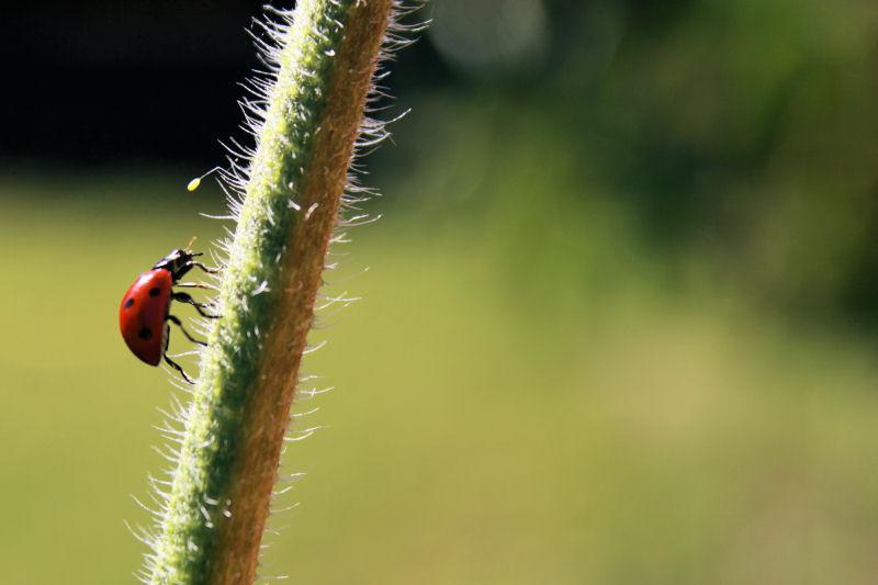 Ladybug, Lewisville, TX garden
