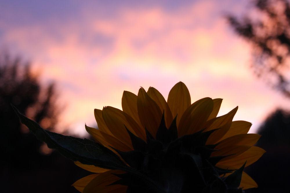 November sunset, sunflower