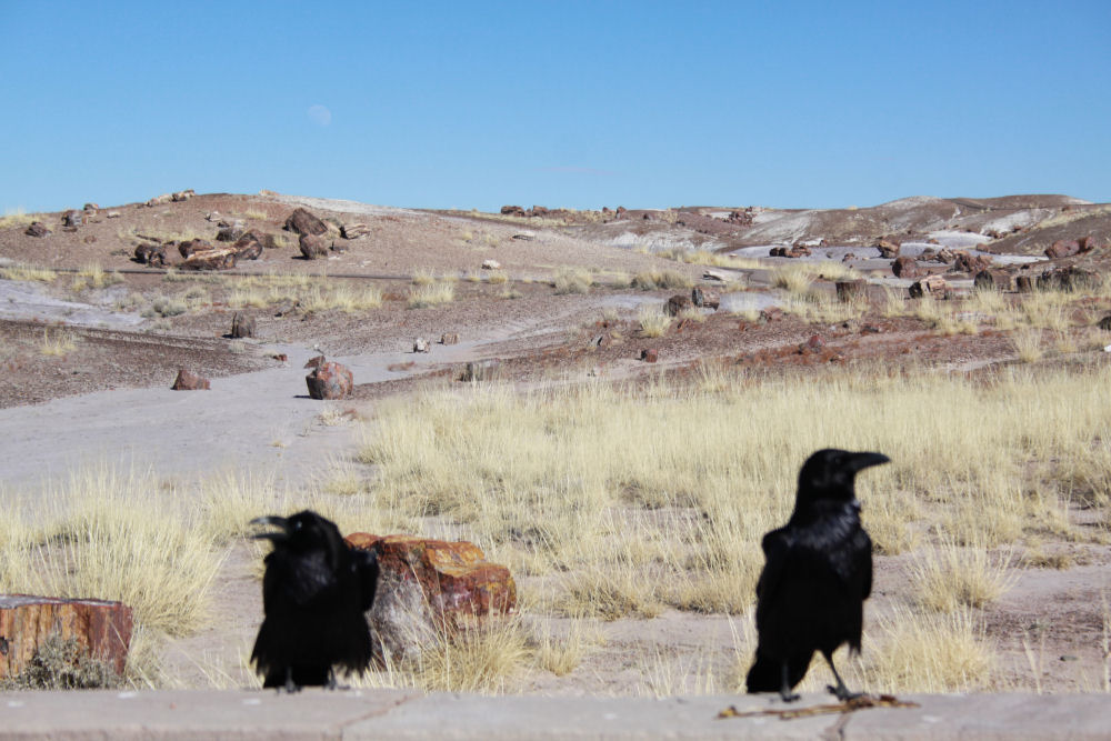 Crows at the Crystal Forest petrified forest, Arizona