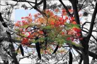 Flambouyant Tree in bloom