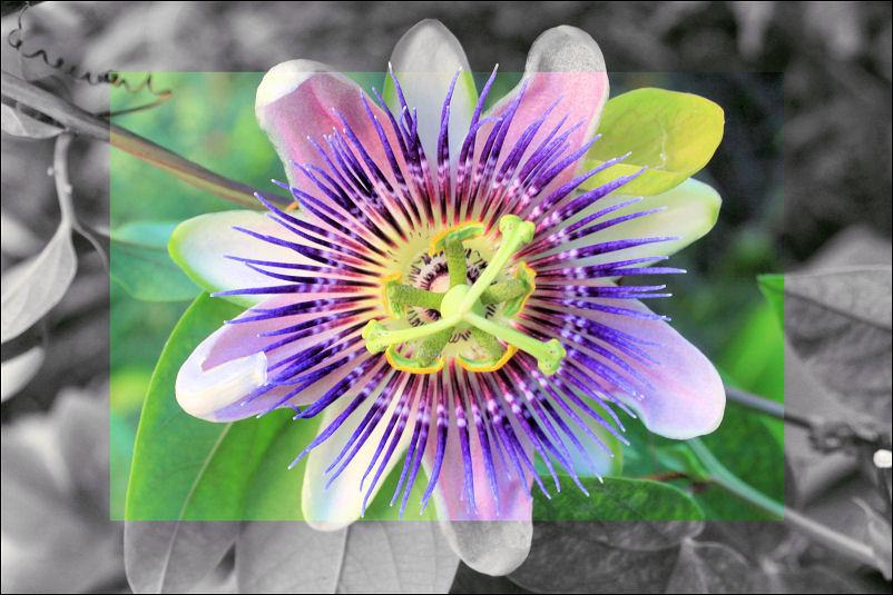 Passionfruit flower, Chapala