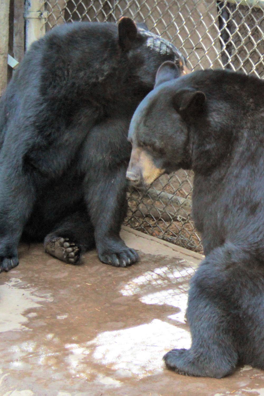 Black Bears, Oregon Zoo