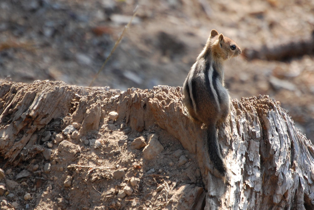 Chipmunk at Crater Lake National Park, OR