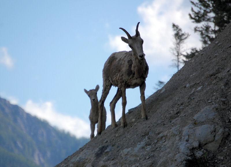 Mountain Goats near Sandpoint, Idaho