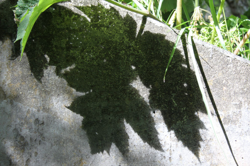 Leaf shadow, Cape Disappointment, Washington