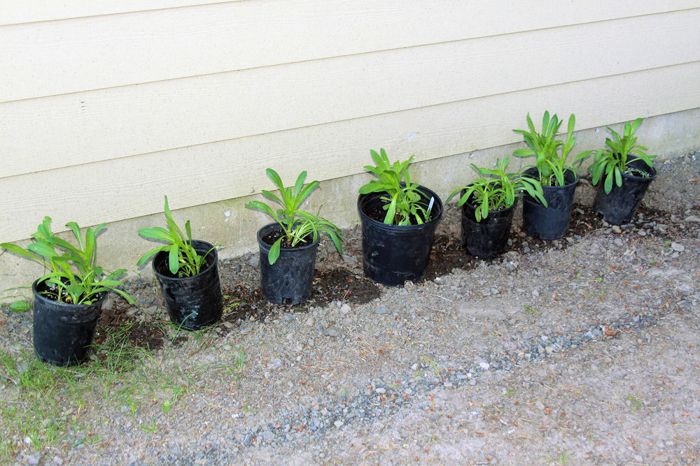 Transplanting Daisies, early spring in Hillsboro, OR