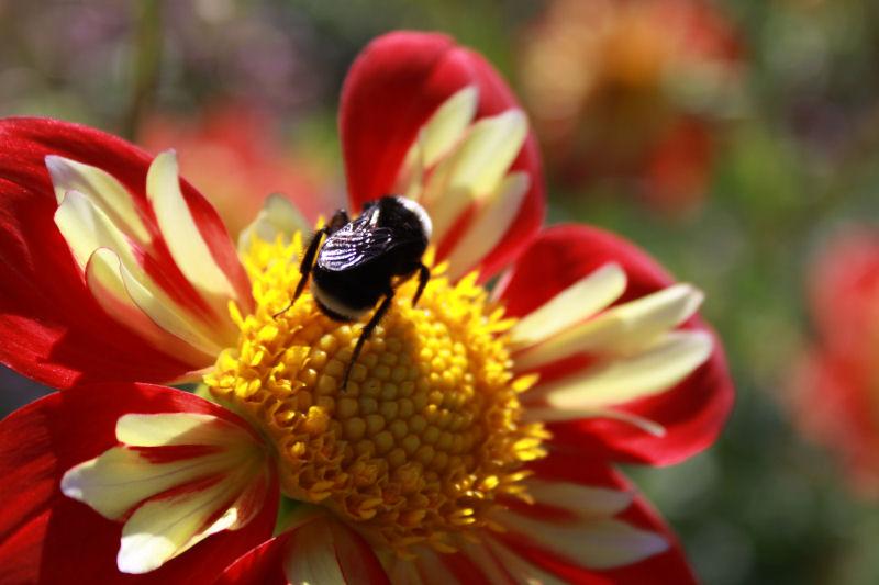 Mardi Gras Dahlia and bumblebee