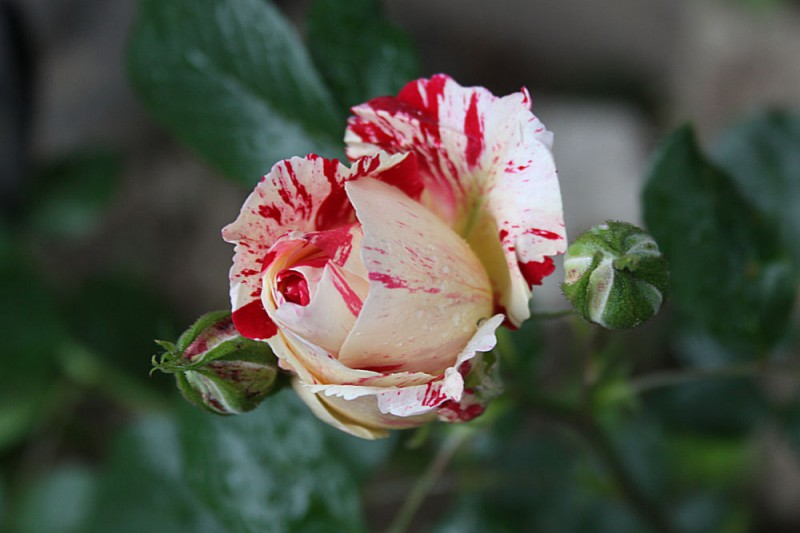 Candy cane Rose