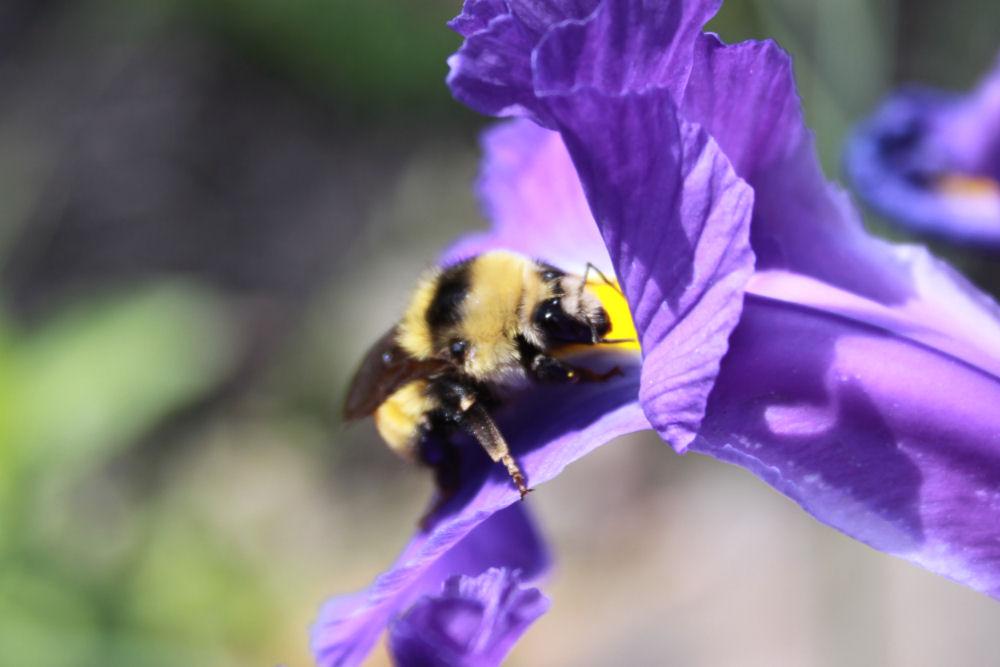 Bumblebee on Blue Flag Iris, Hillsboro, OR