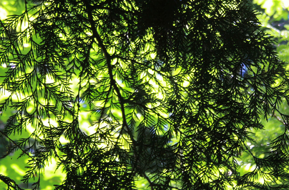 Cedar branch patterns, Tualatin Hills Nature Park, Beaverton, OR,