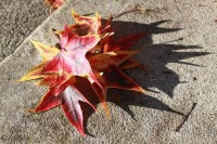 Sweetgum Leaves