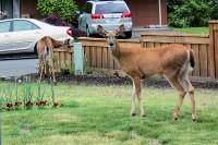 Deer eating our roses, Hillsboro, OR
