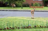 Deer in our neighborhood