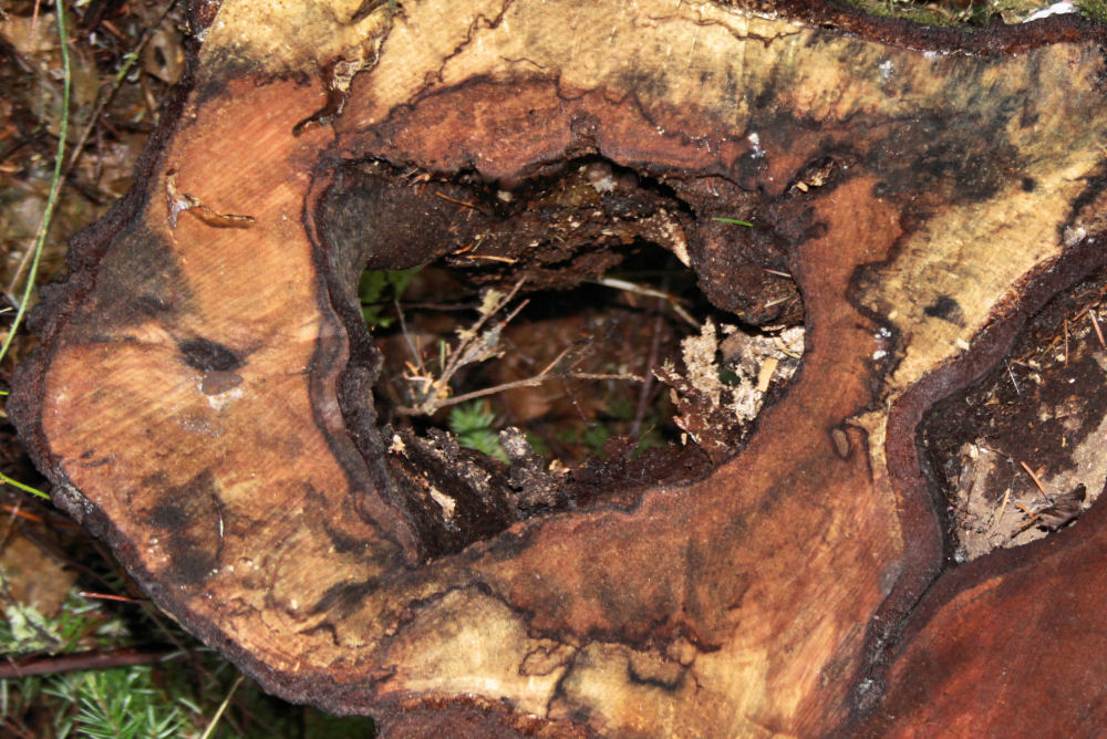 Heart shaped log rot, Tualatin Nature park, Beaverton, OR USA