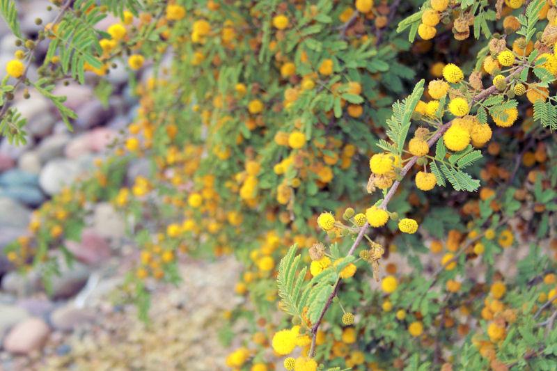 As yet unidentified flowering tree, downtown Phoenix, AZ