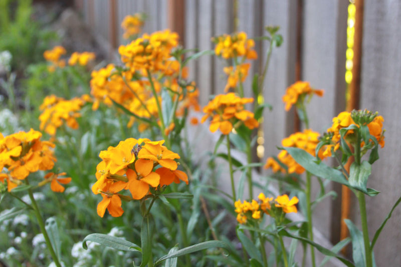 Wallflowers, evening sunlight