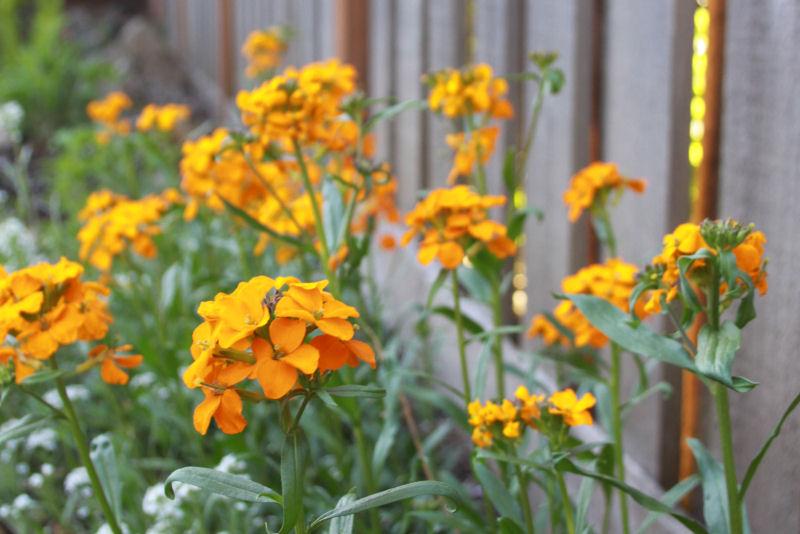 Wallflowers, evening sunlight