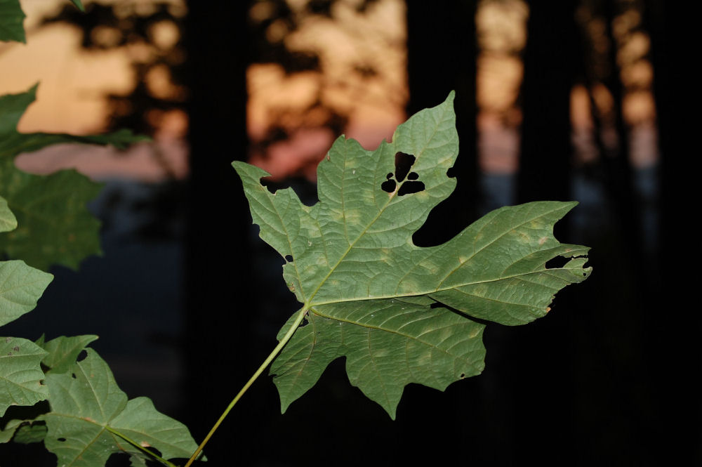 Big-leaf Maple, Bald Peak, OR at sunset