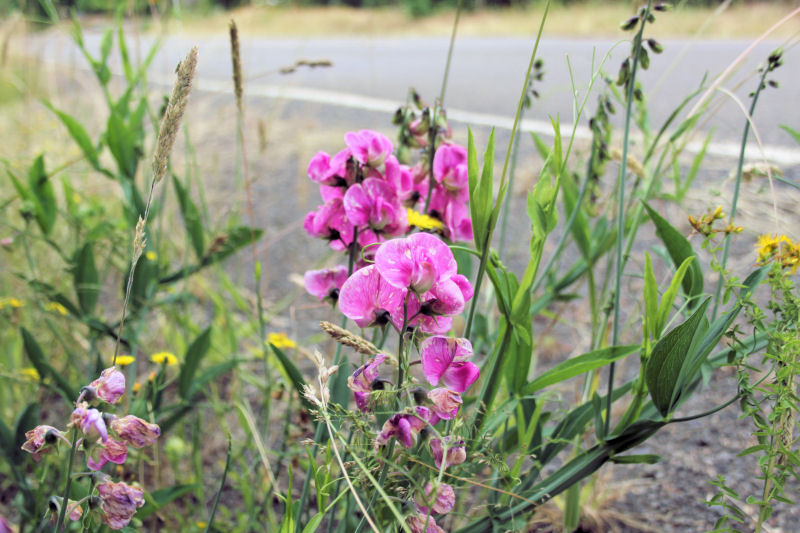 Large wild sweetpeas, Vernonia Trail, Oregon