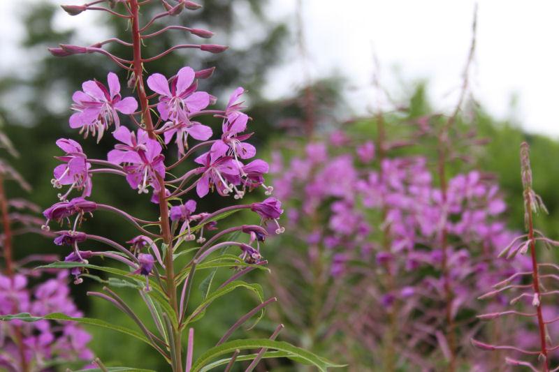 Fireweed, Vernonia Trail