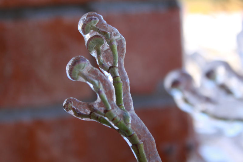 Ice on Dogwood buds and branches, looking like alien's hands