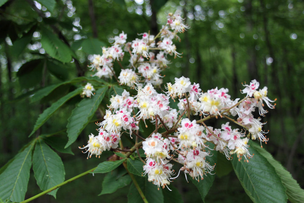 Horse Chestnut tree in bloom, Matthiessen State Park, IL