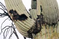 Saguaro cactus resilience