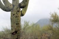 Seguaro cactus, Phoenix, AZ