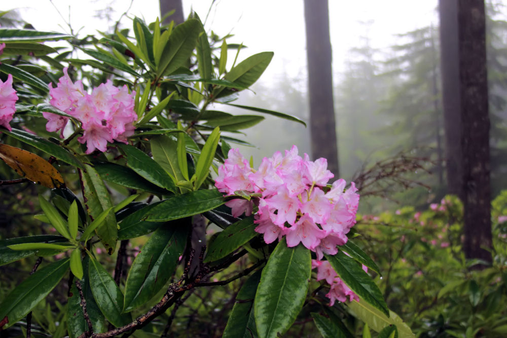 Wild Rhododendrons, Mt. Walker, Washington