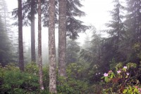 Rhododendrons, Douglas Fir and Cedar, Mt. Walker, WA (USA)