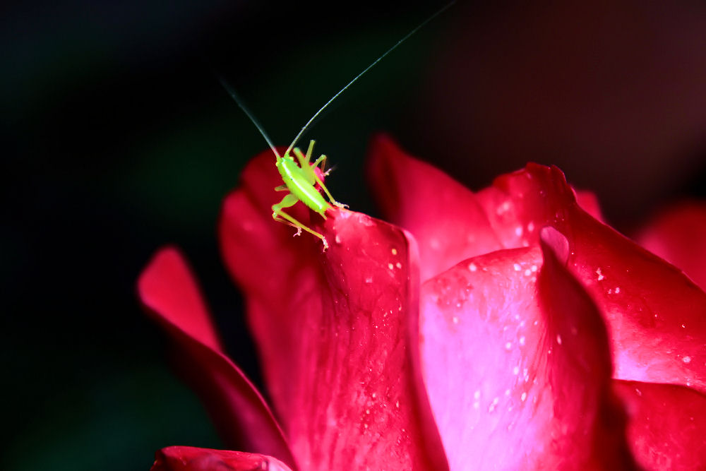 Young cricket on a garden rose