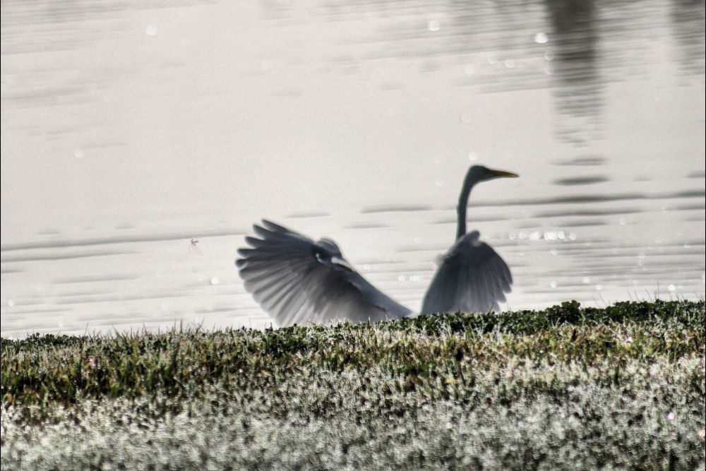 White Egret and Mayfly, Coppell, TX