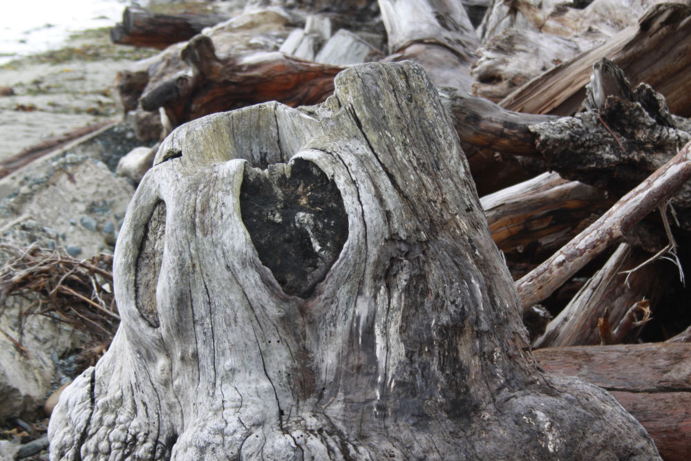 Heart-shaped scar, driftwood Victoria, BC Canada