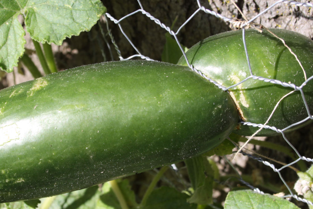 Ouch! Cucumber growing through chicken wire