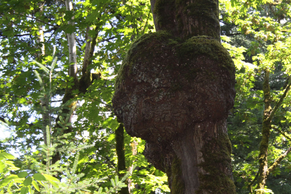 Heart shaped Oak burl, Columbia River Gorge, OR
