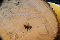Sweetgum tree log, shapes produced by central rot