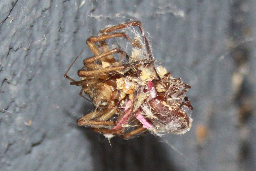 Spider Ball: appears to be 3 large, two medium spiders, and a few tiny white hatchlings