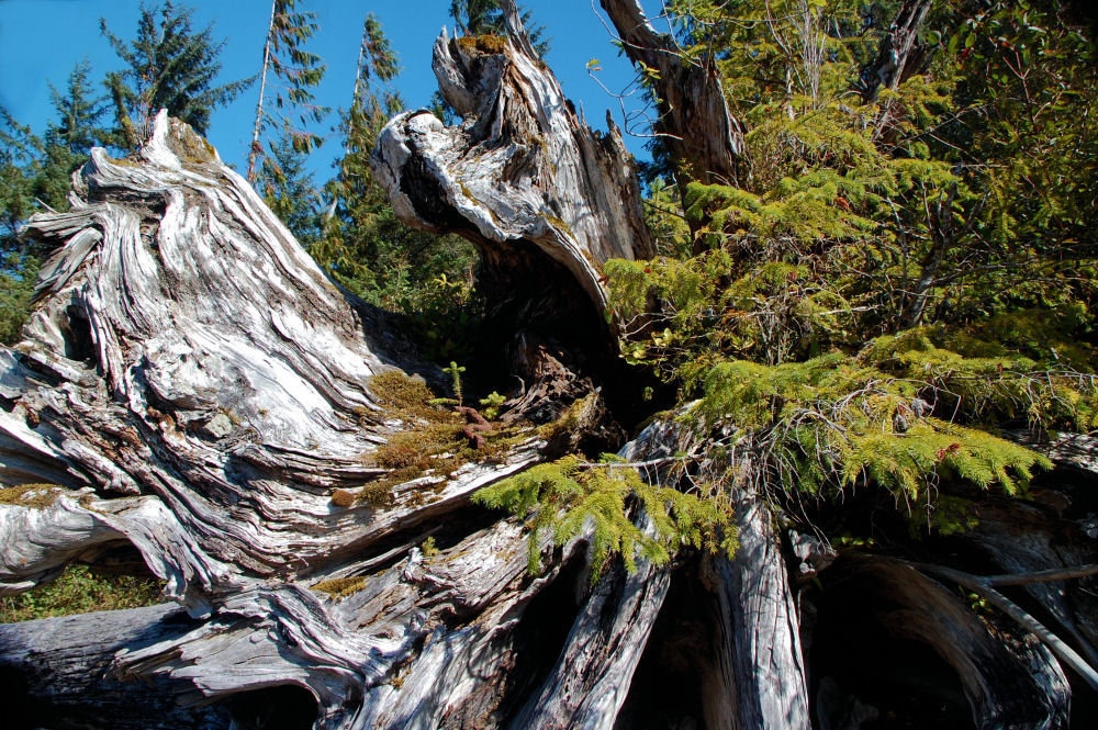 Old-growth Cedar stump, Nimkish Lake, BC